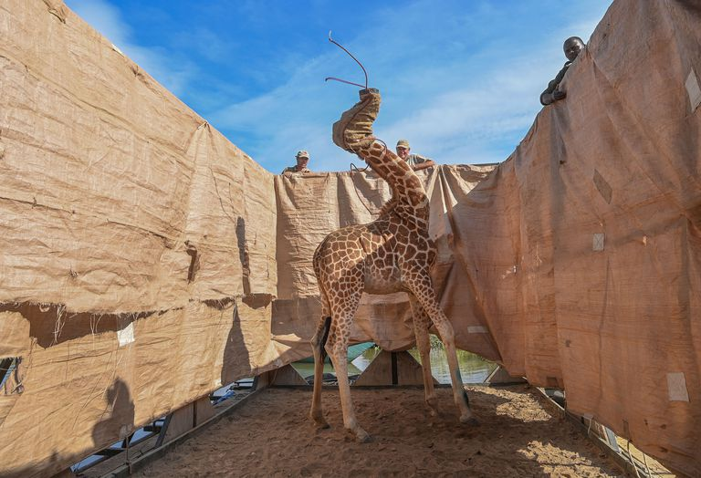 Rescue of Giraffes from Flooding Island