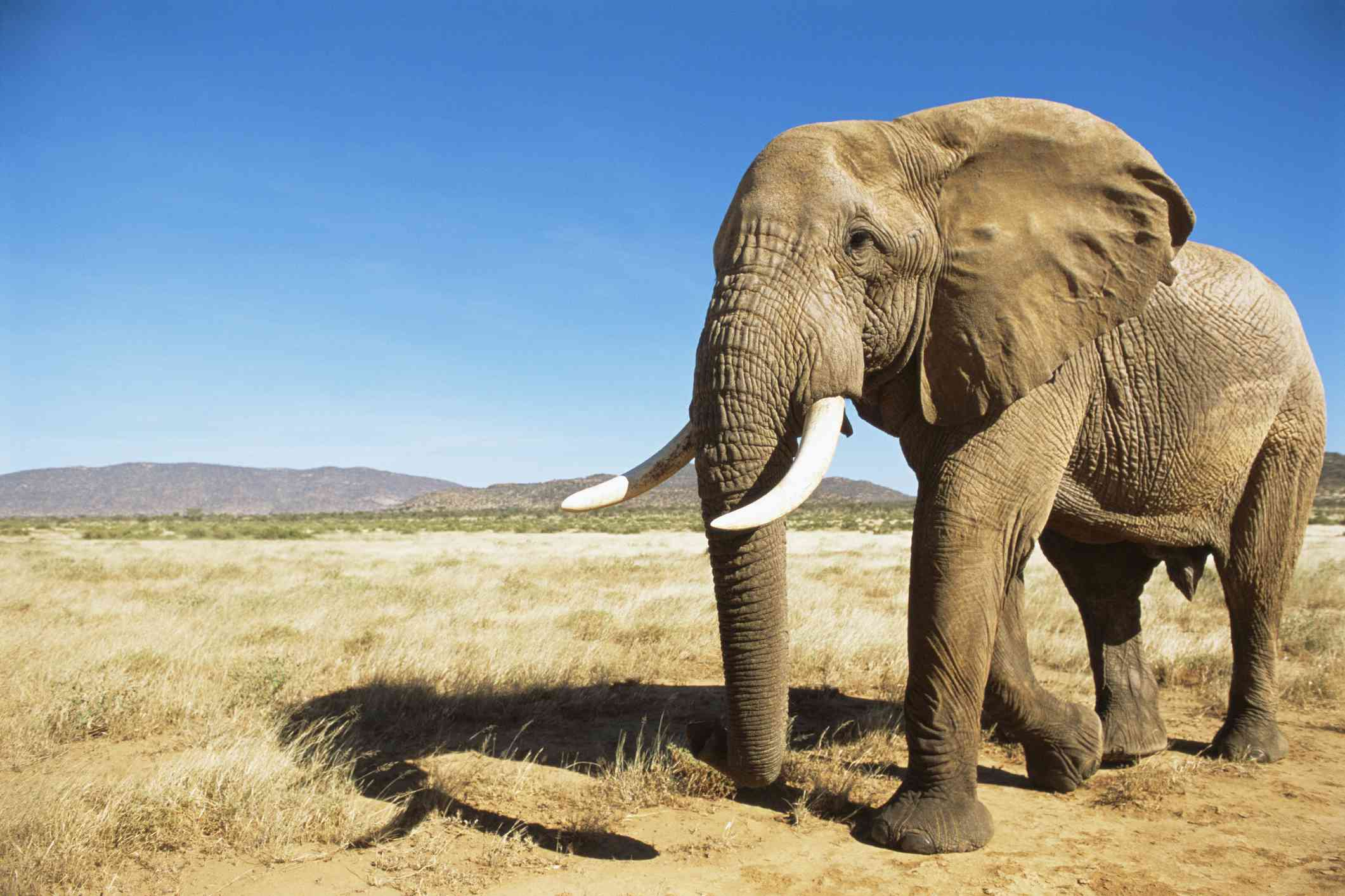 African elephant (male) encounter at dawn