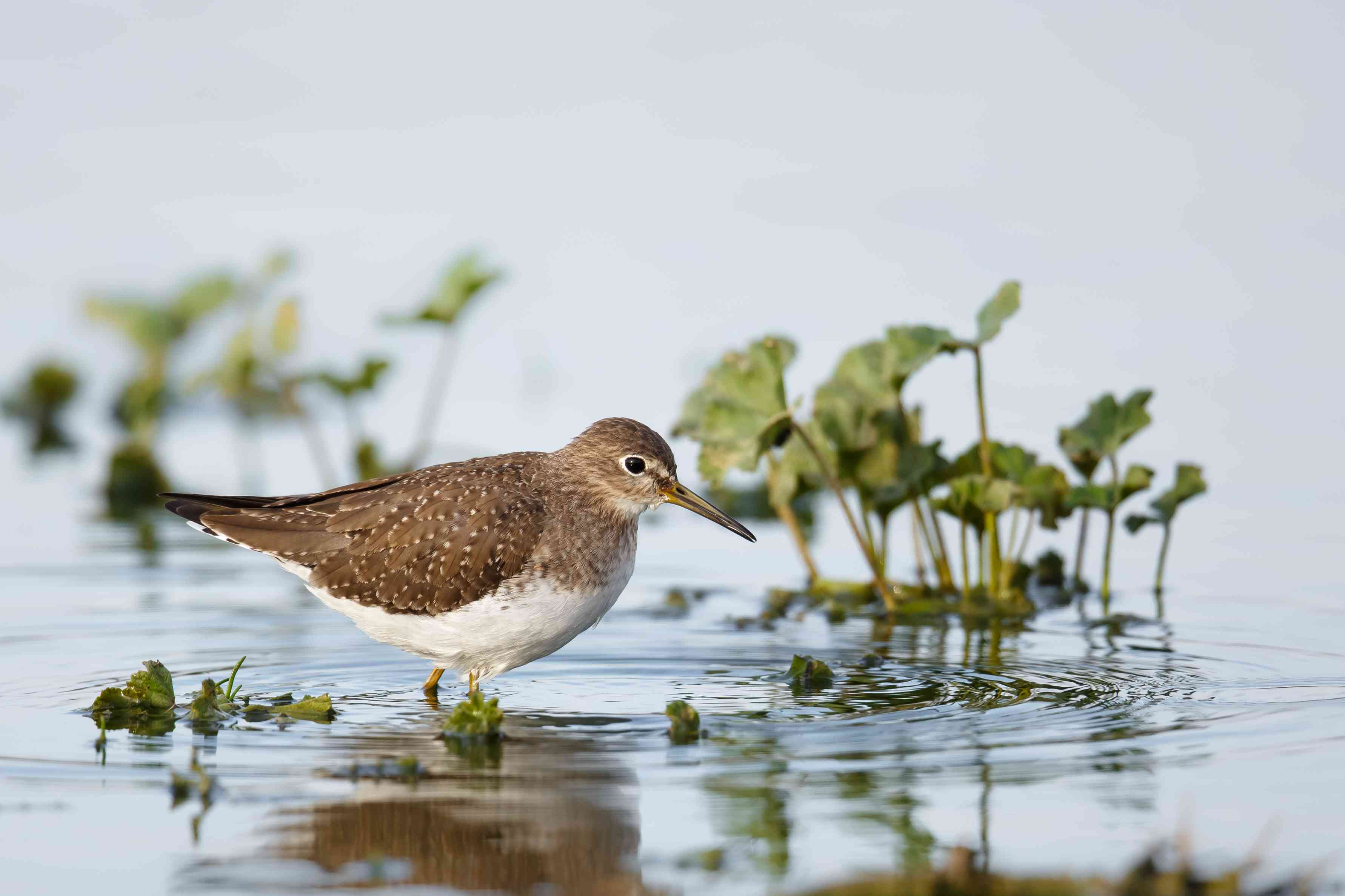 Solitary Sandpiper standing in water next to small plants