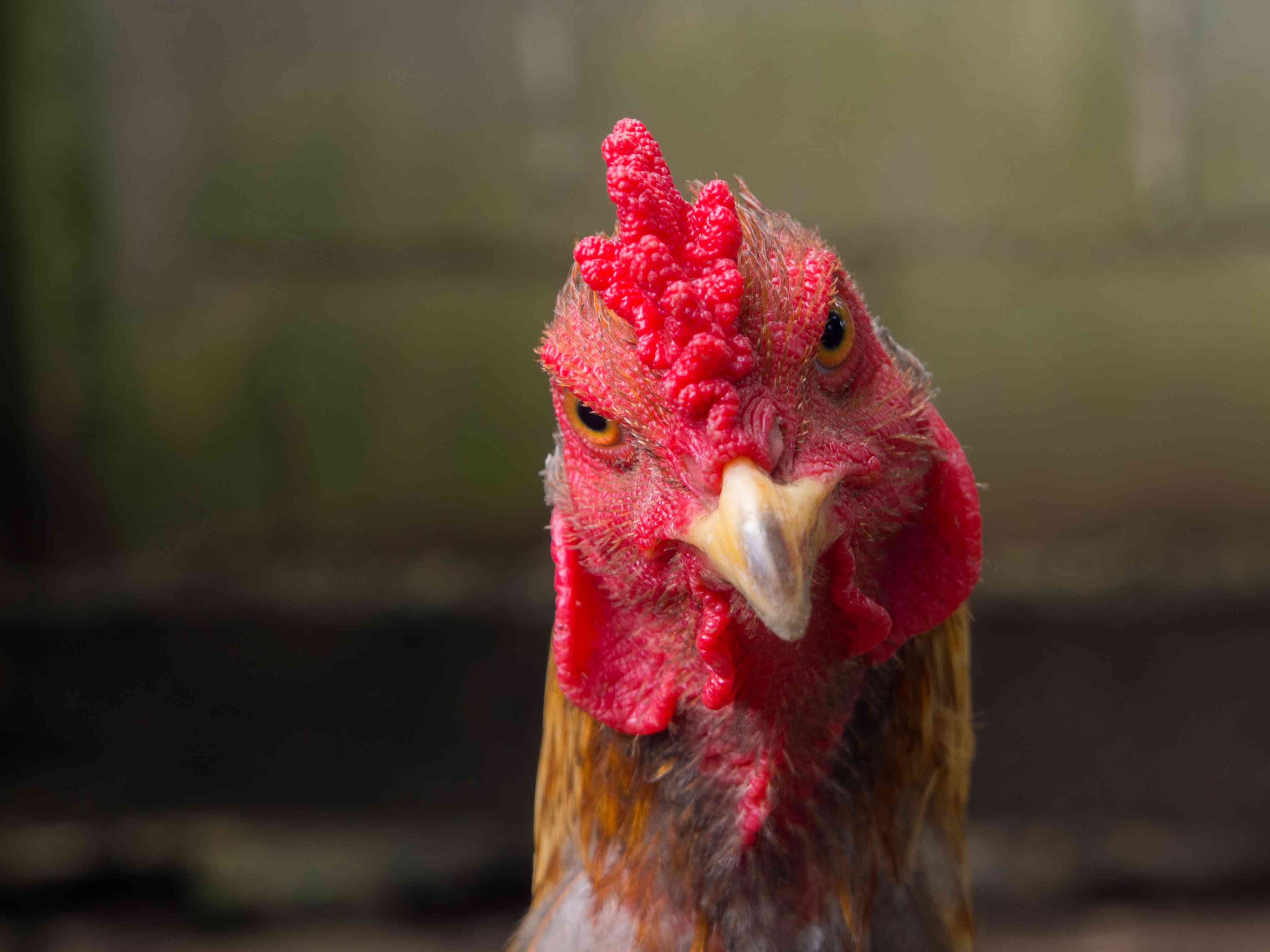 Close-up of a rooster's face.