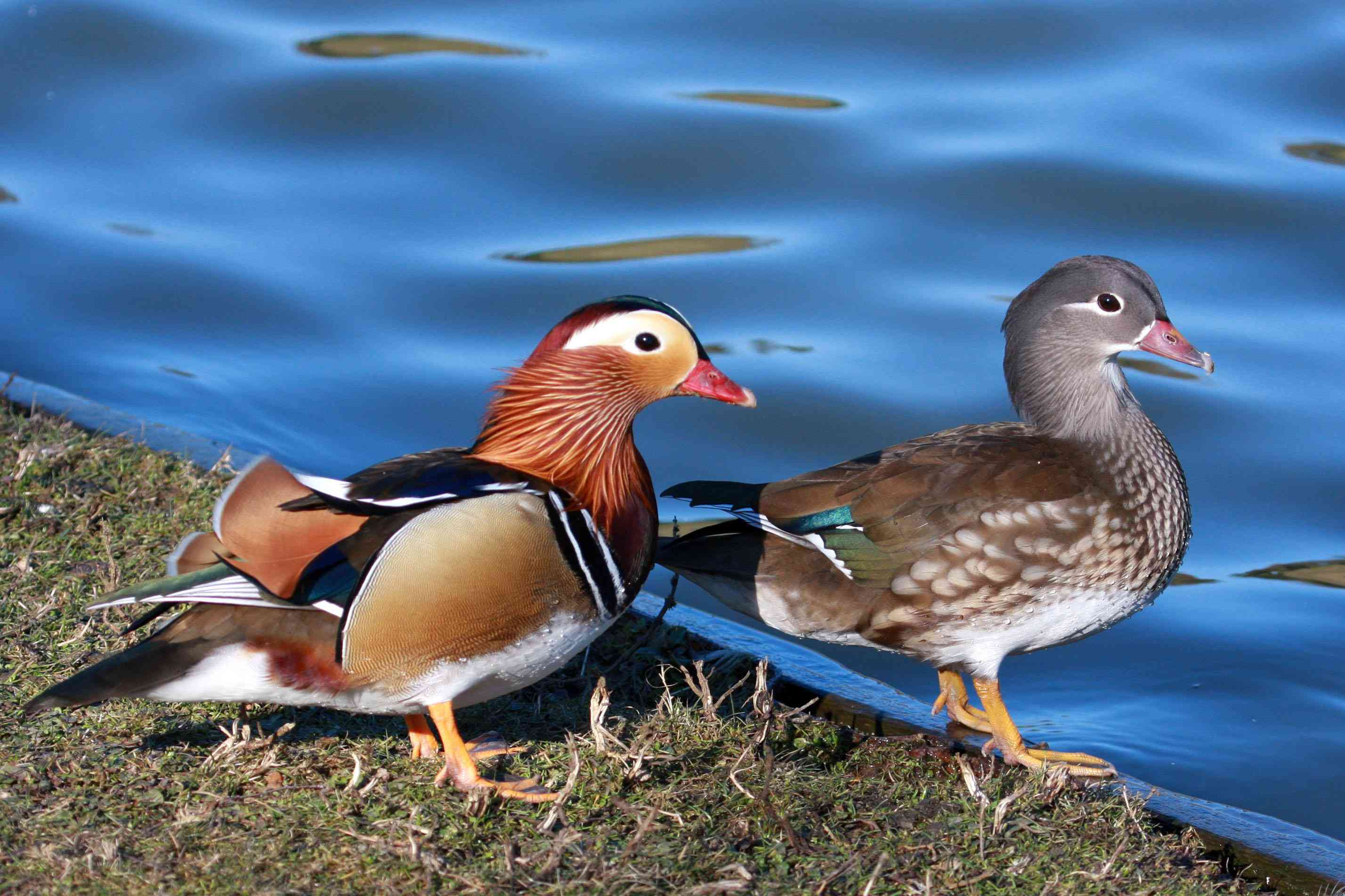 colorful male mandarin duck and gray female standing on edge of lake