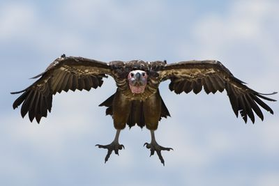 A Lappet-faced Vulture lowers its wings and looks like its flying directly at you.
