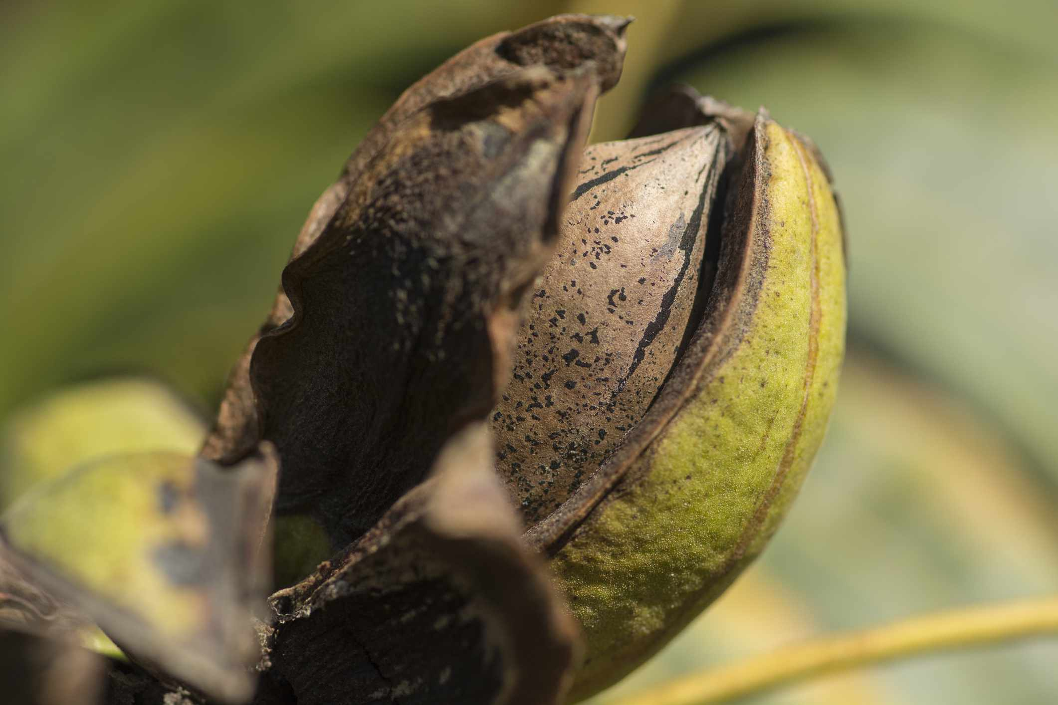 A pecan nut opening up on a tree.