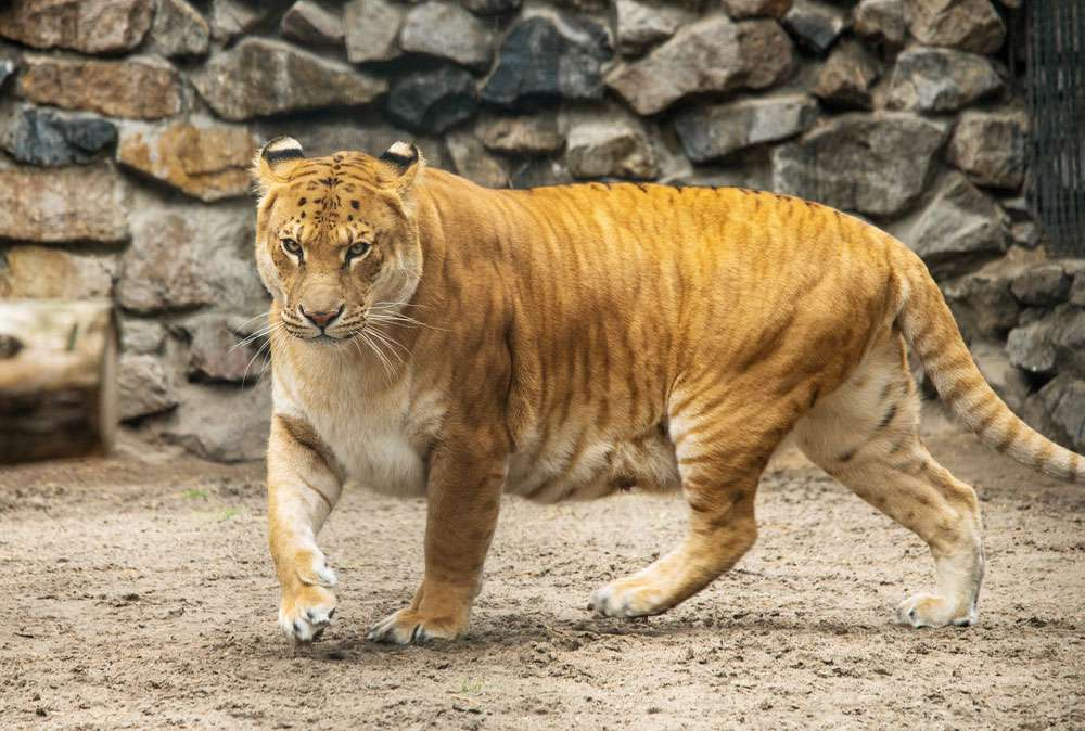 A lion and tiger, or liger, with light tiger-like striping.