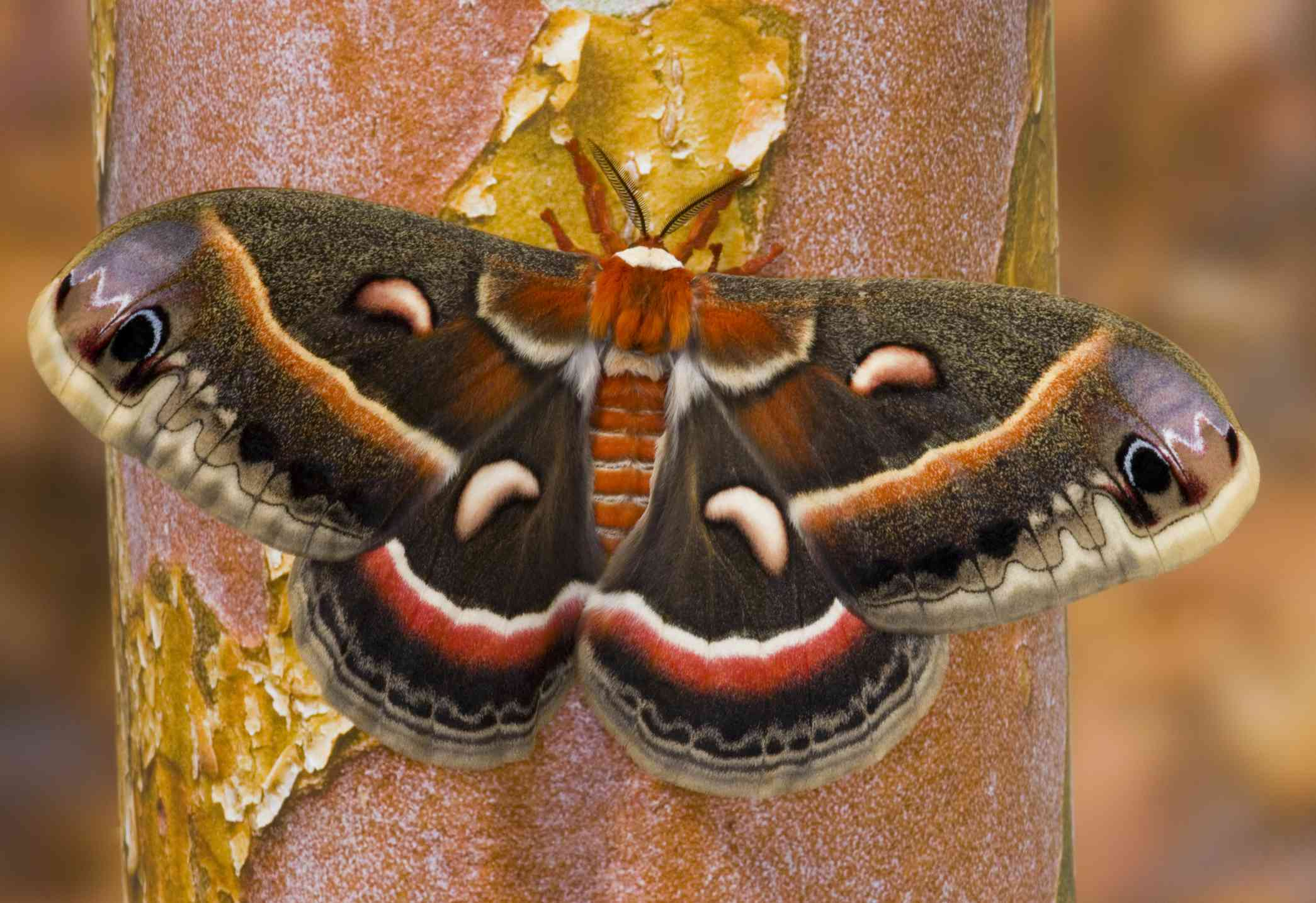 A brown and orange moth sits on a tree trunk