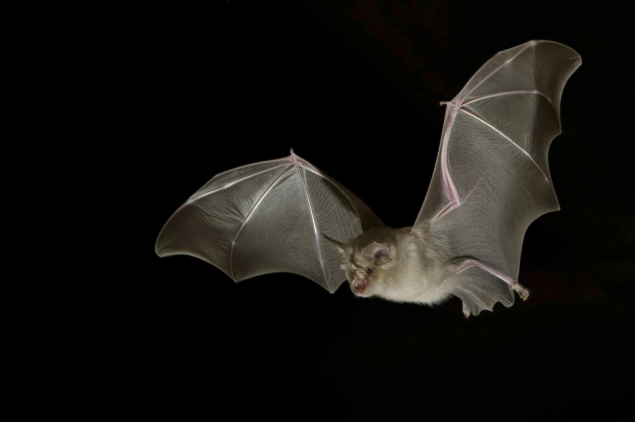 A greater horseshoe bat flies through the night sky