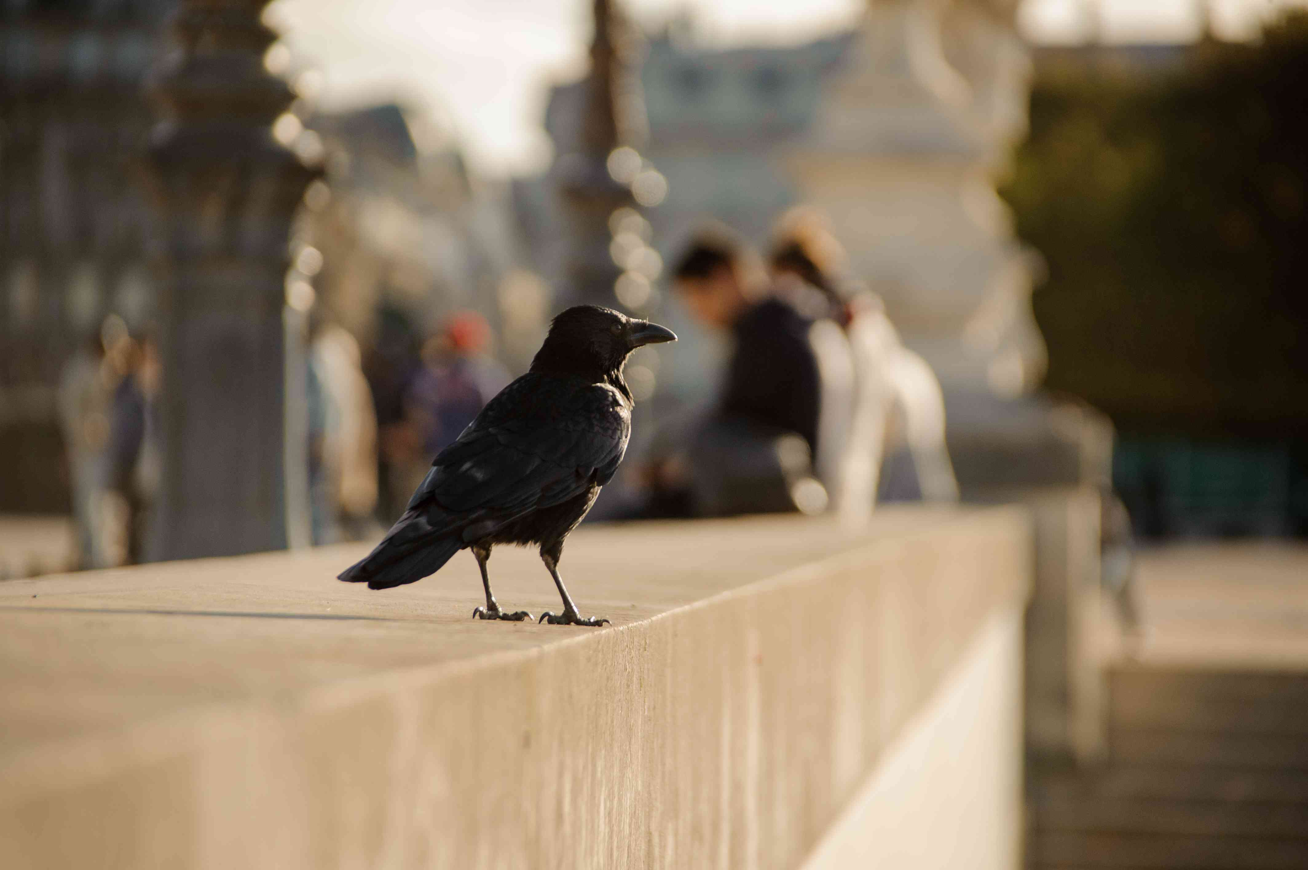 crow watching people