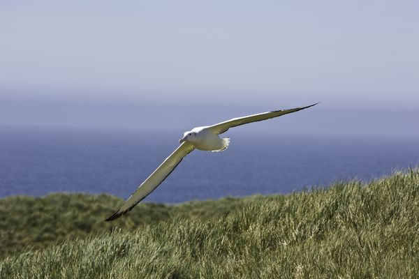 The Wandering Albatross (Diomedea exulans), is a large seabird from the family Diomedeidae which has a circumpolar range in the Southern Ocean. The Wandering Albatross has the largest wingspan of any living bird, with the average wingspan being 3.1 metres