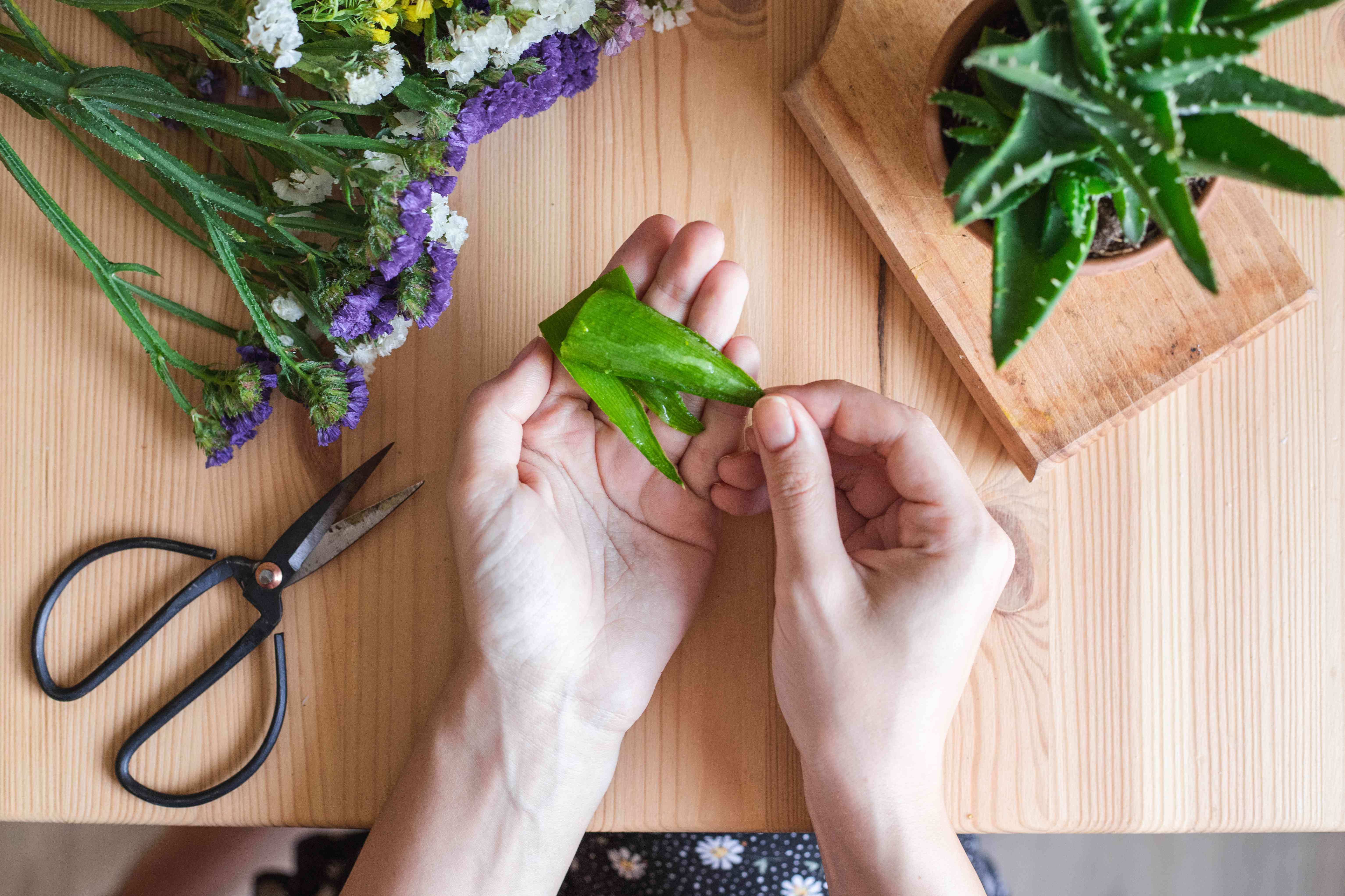 hands hold cut aloe leaf with scissors and flowers nearby on wooden table