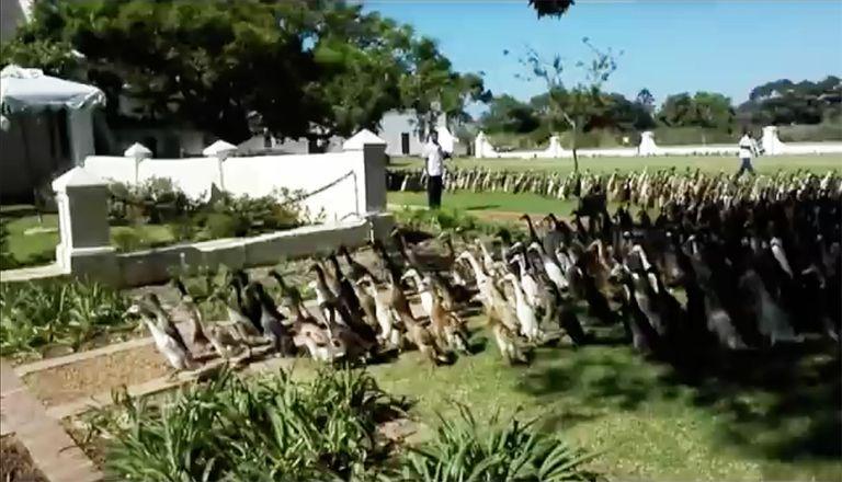 Este viñedo pone a trabajar 800 patos felices todos los días