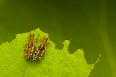 Close up of two brown crickets
