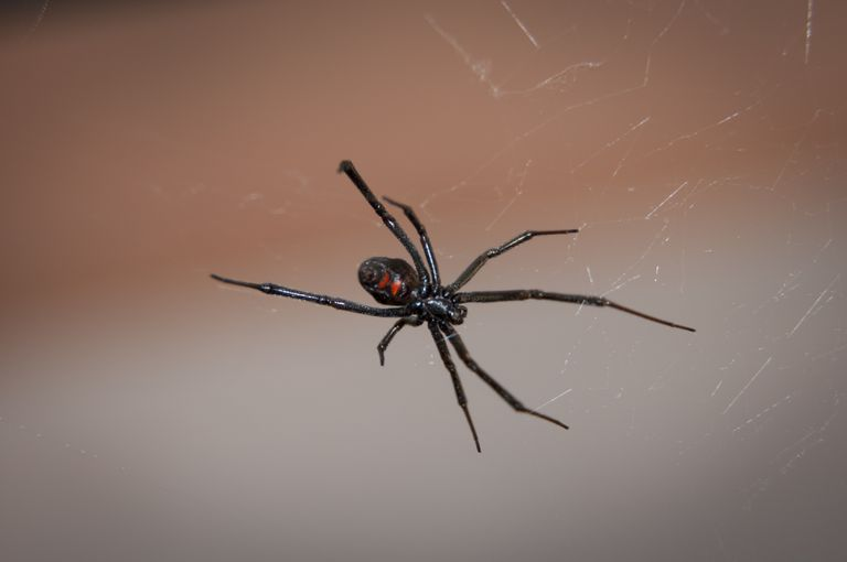 black widow spider in web with red hourglass shape on abdomen