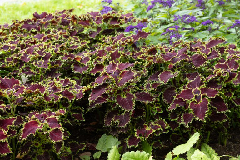 green and dark purple Coleus (Plectranthus scutellariodes) is a great patio plant
