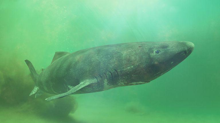 El tiburón de Groenlandia puede ser el vertebrado más longevo con 512 años de edad (video)