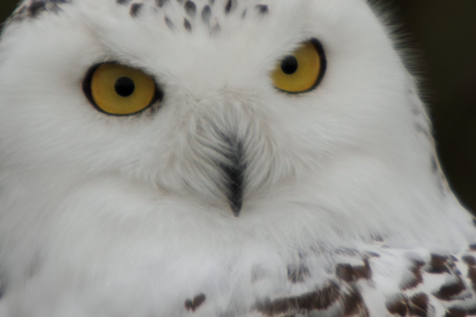snowy owl face with short bristly feathers near beak