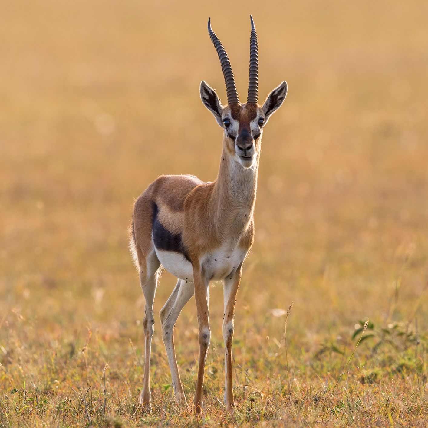 8 Fascinating Facts About Gazelles