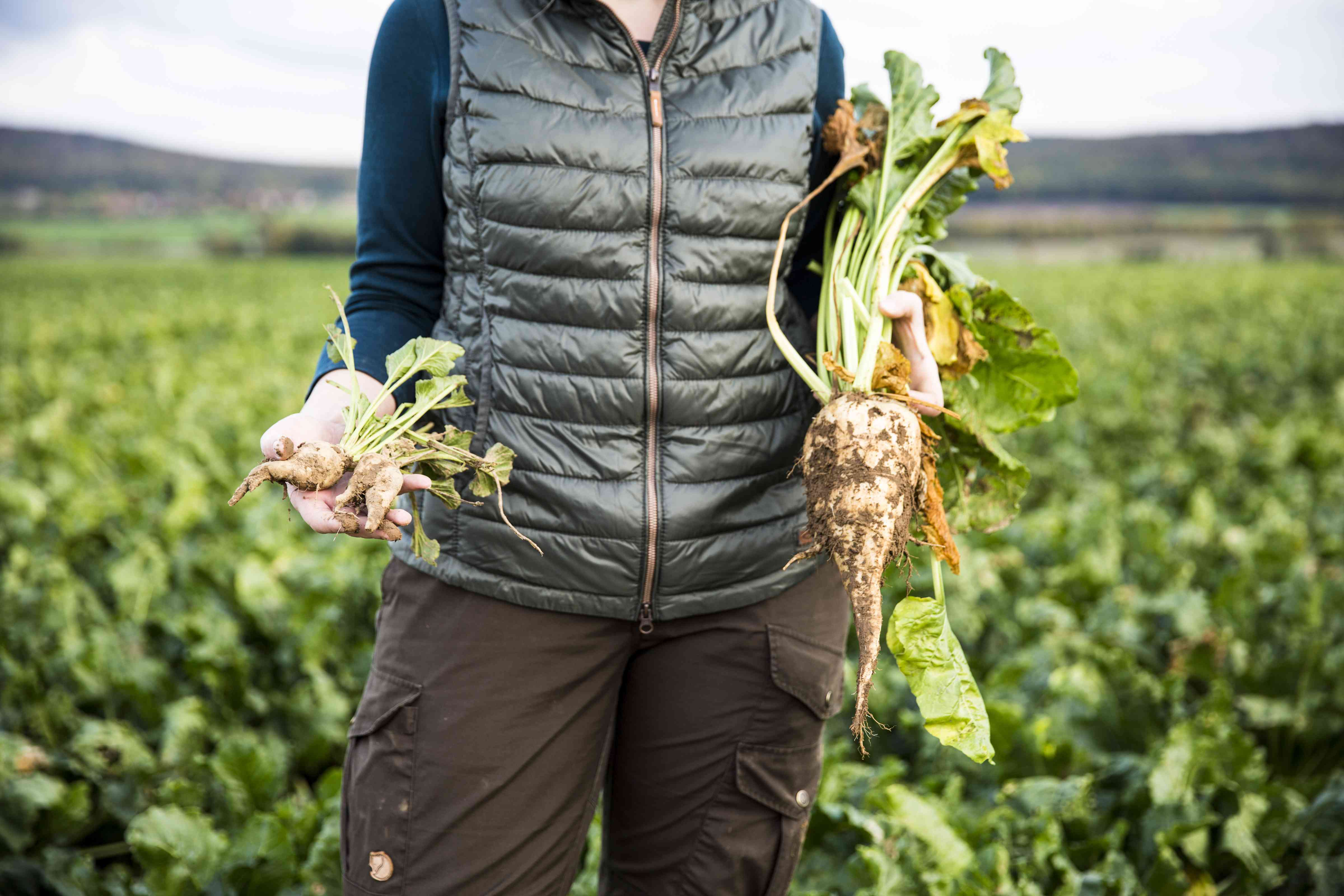 female Farmer hold big and small sugar beets in hands - close up
