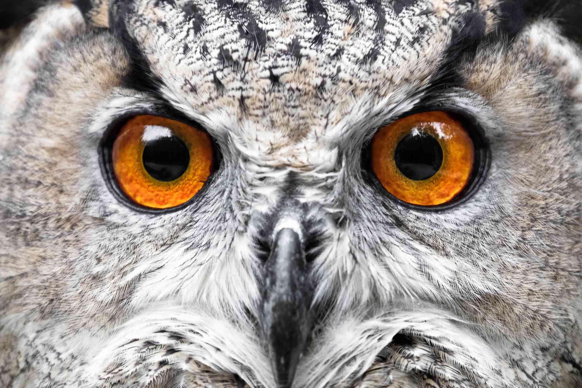 extreme close up of white owl face, showing huge bright orange eyes