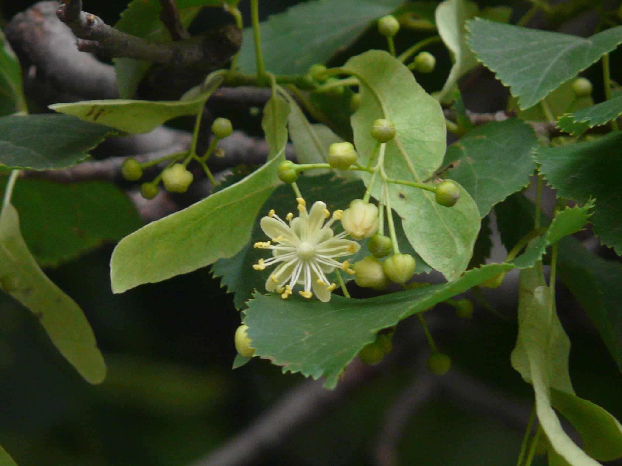 Close up of Tilia cordata or Littleleaf linden