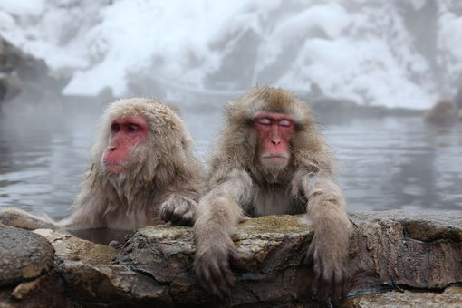 Japanese Macaques Bathe In Hot Springs