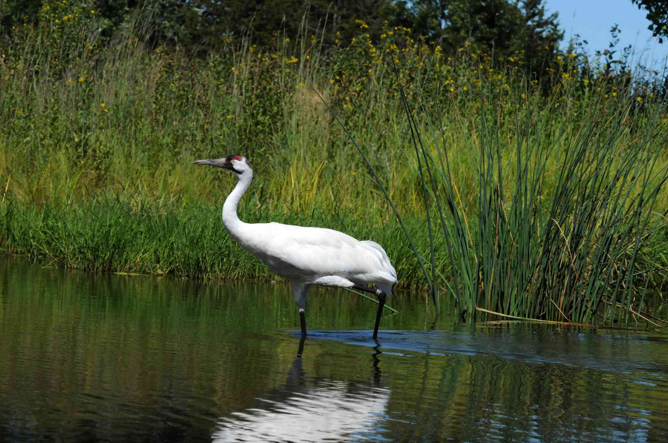 A whooping crane standing in a waterway surrounded by tall green grasses.
