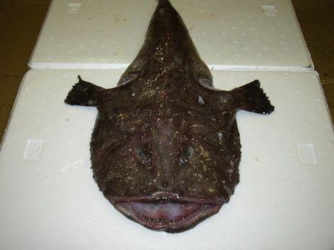 monkfish goosefish opener photo