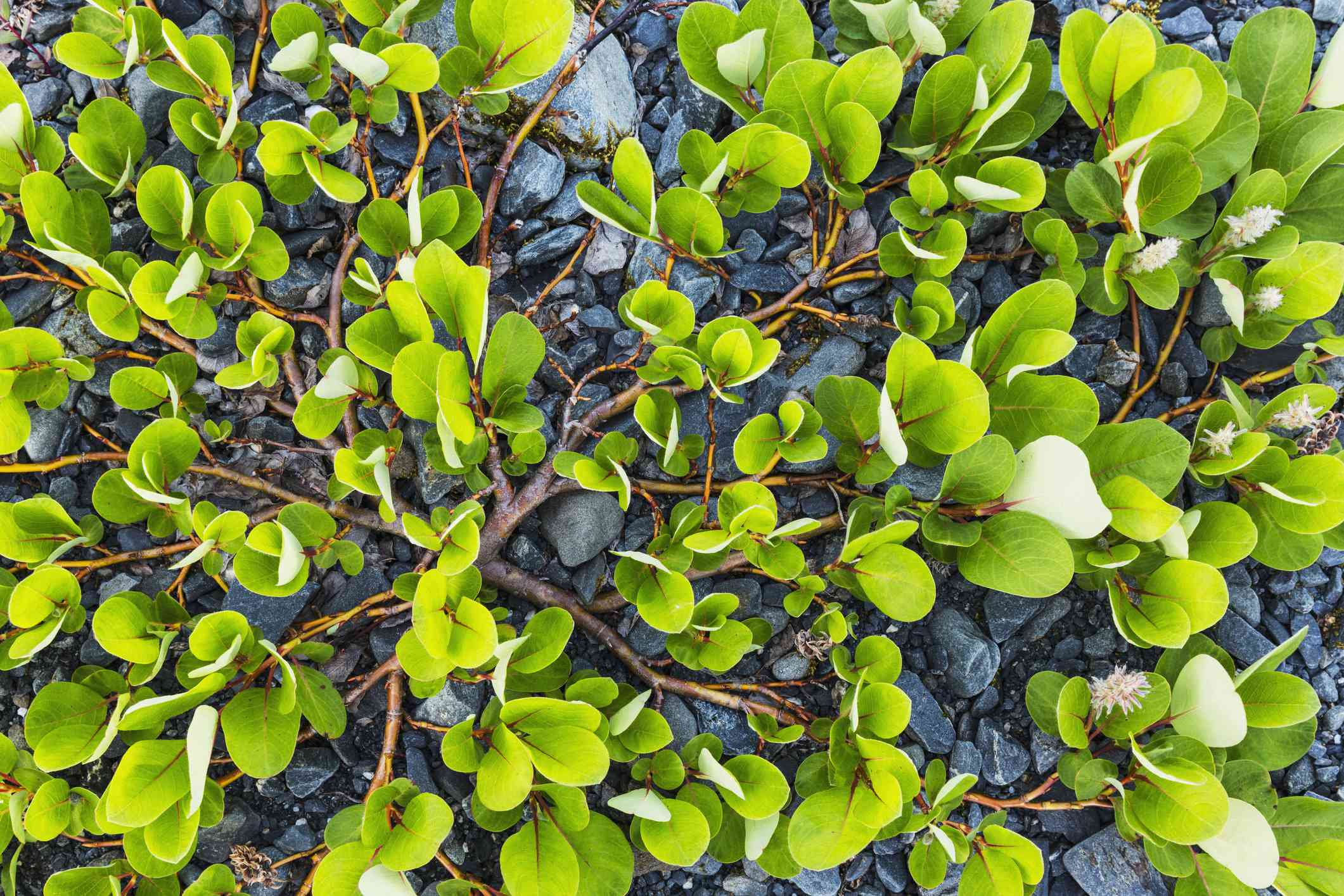 Dwarf willow plant