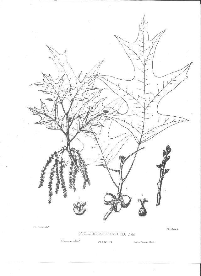 Southern Red Oak, Quercus falcata