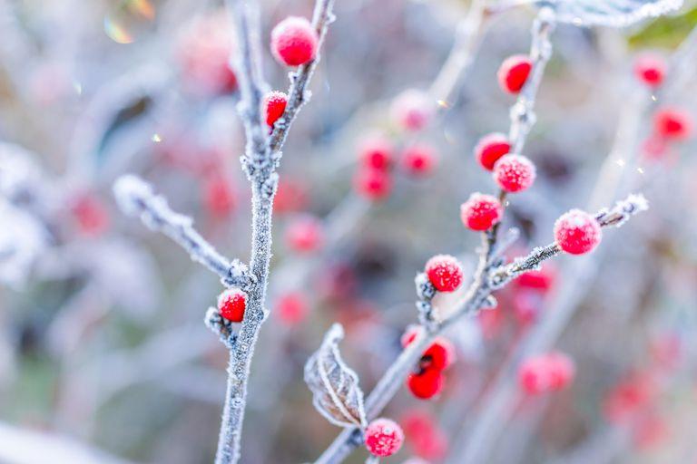Esta planta aporta color al invierno