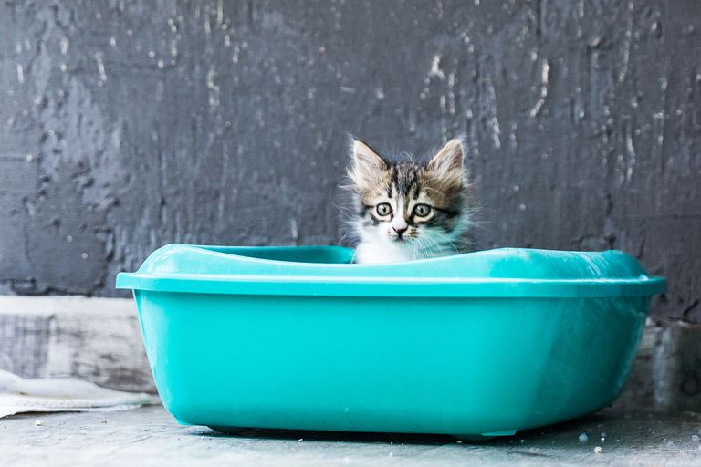 stripped kitten peeks out from aqua litter box against gray wall