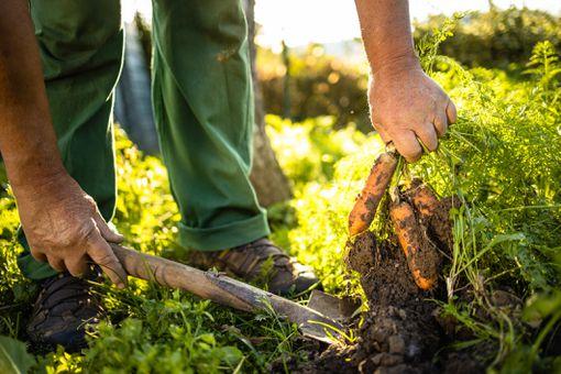 Senior gardener gardening in his permaculture garden - harvesting carrots