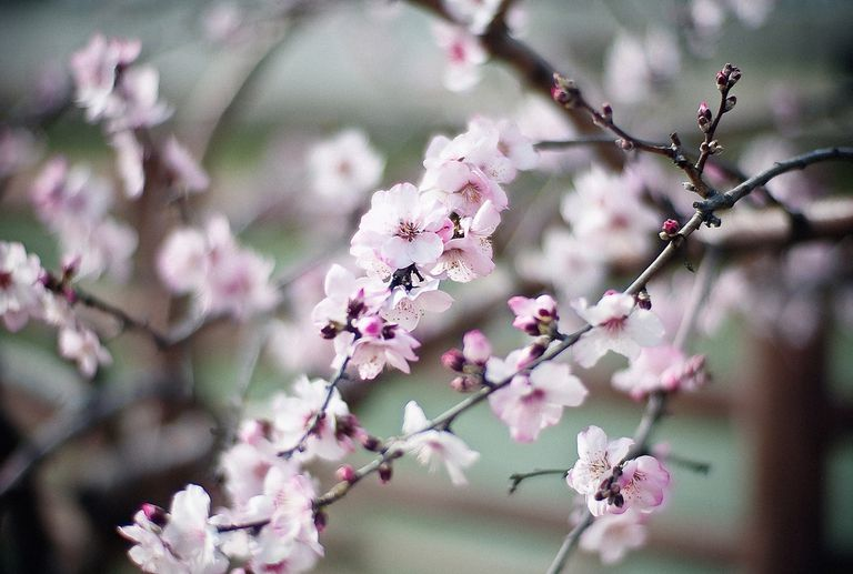 Pink blossoms on an almond tree.