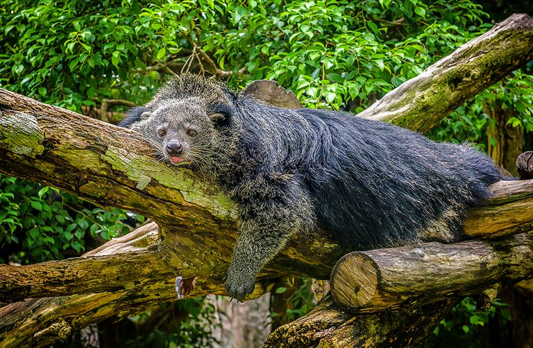 A woolly brown bearcat lays on tree trunks in a forest