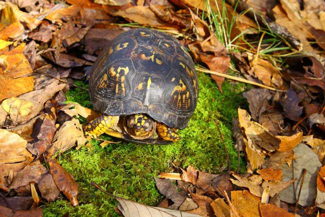 A box turtle sitting on dried leaves and green moss poking its head out.