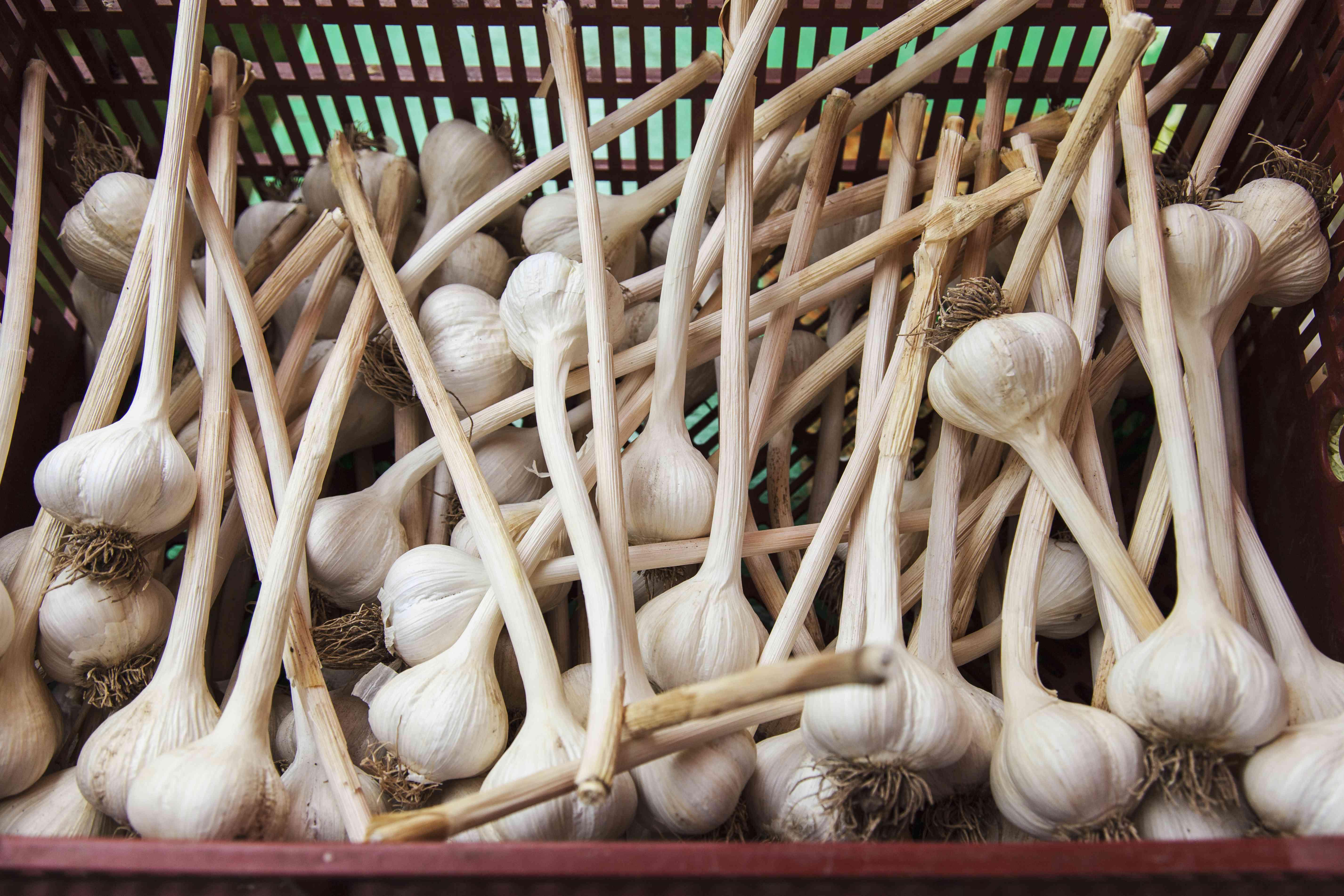 Large clean organically grown hardneck garlic bulbs