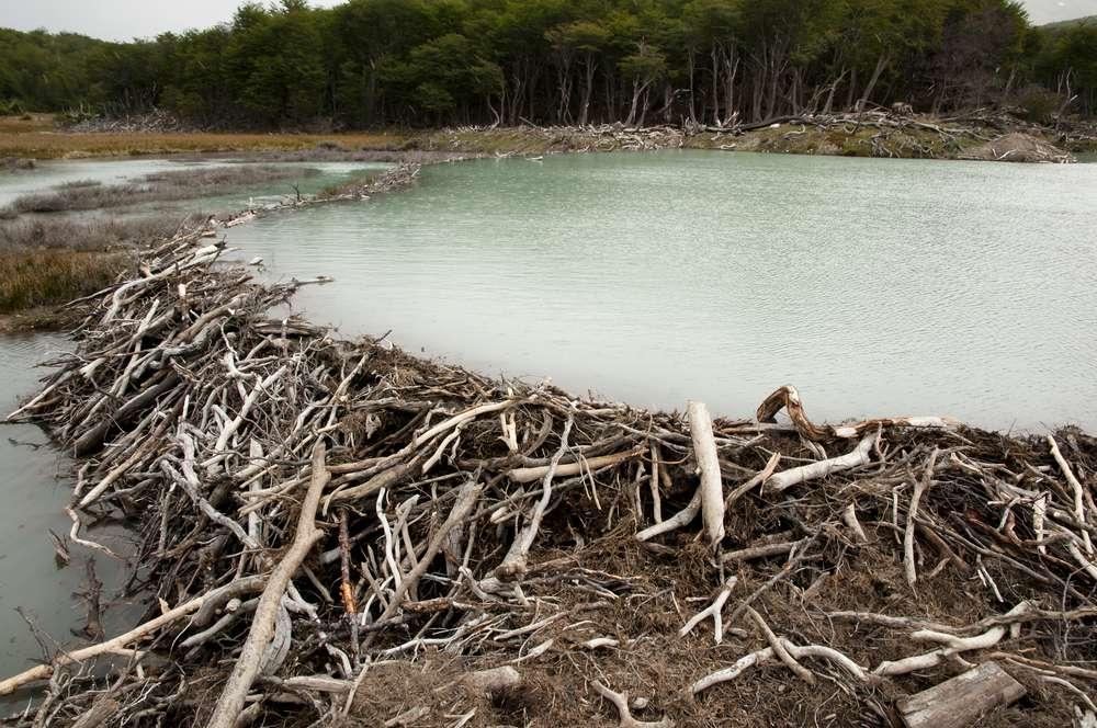 Beavers dam in Argentina