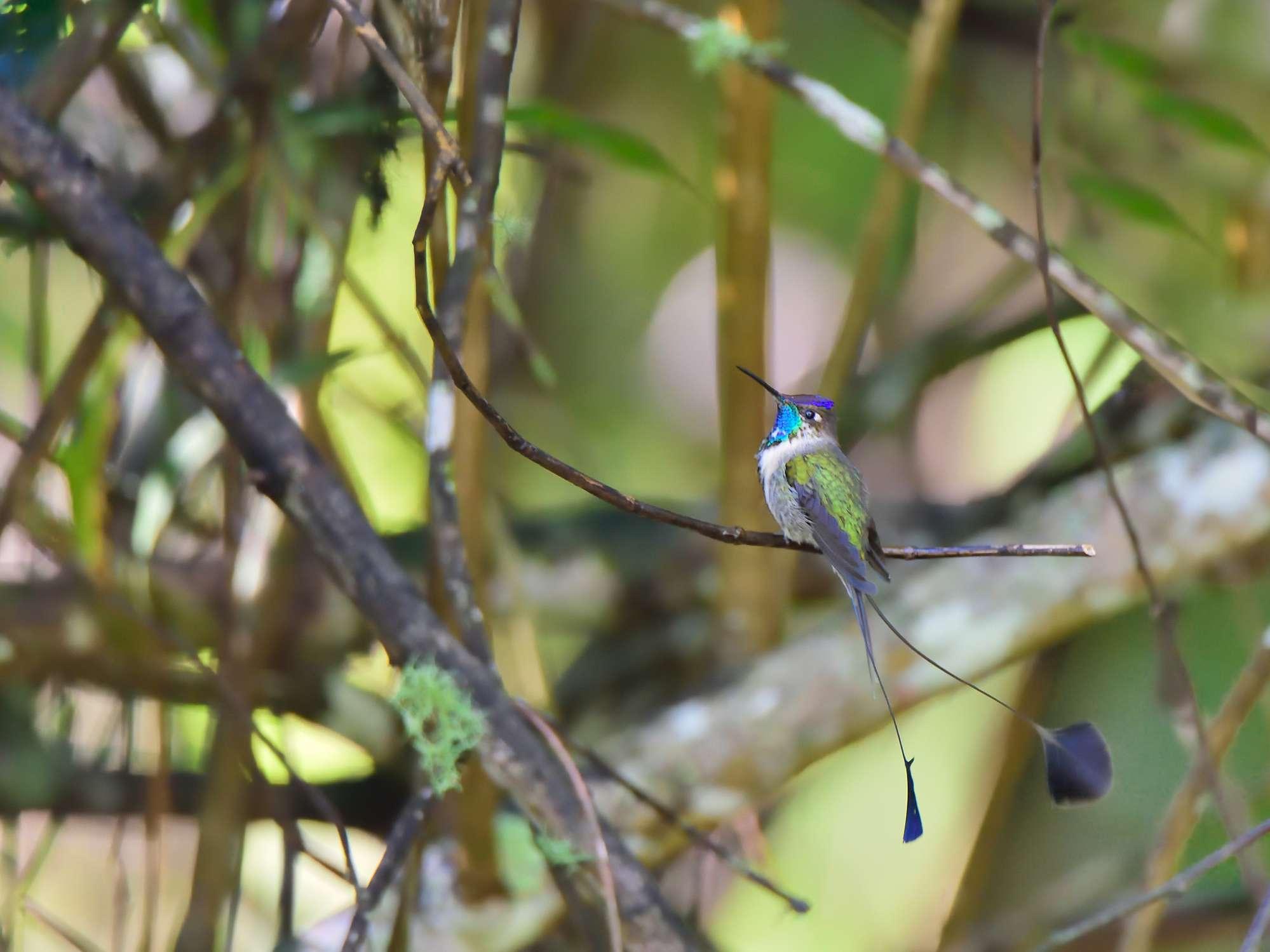 marvelous spatuletail hummingbird perches on tree branch