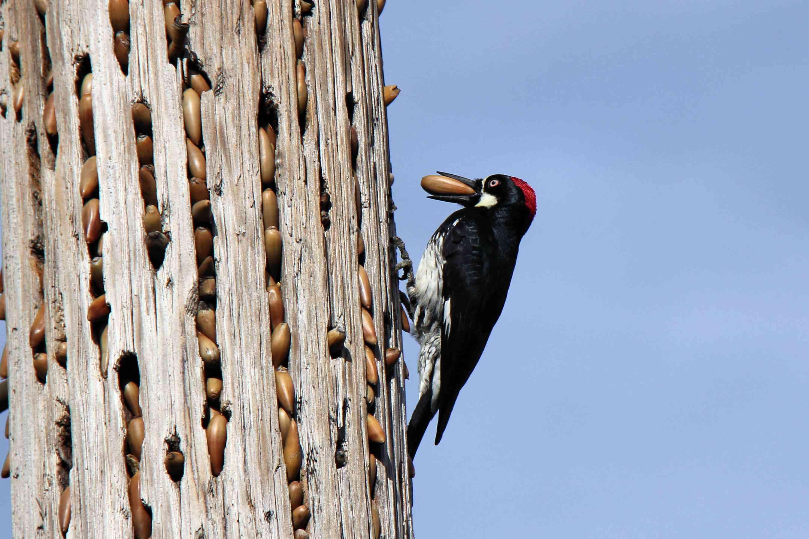 An acorn woodpecker filling a granary tree.