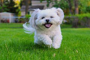 white shih tzu running in green grass