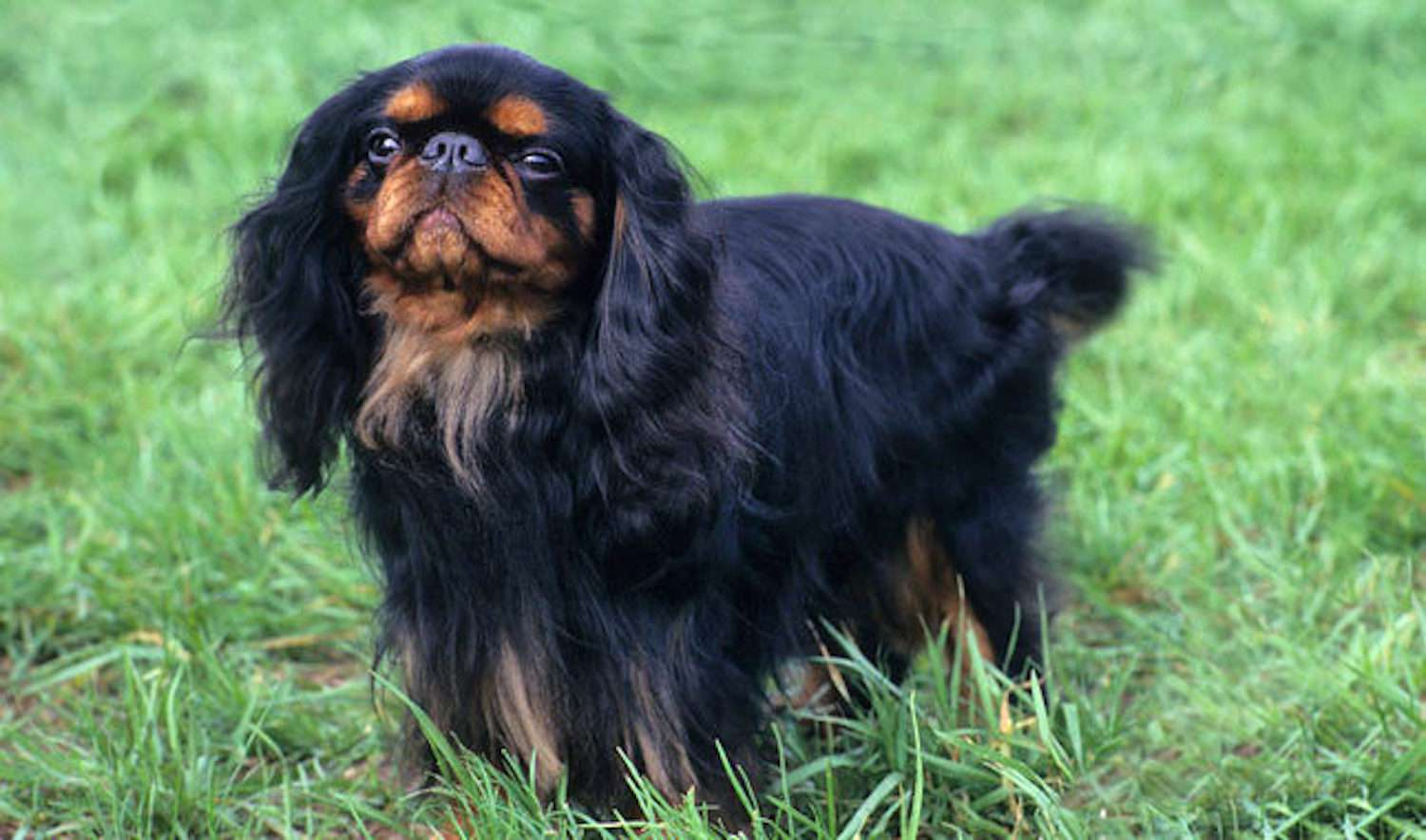 black English toy spaniel with a brown face standing in green grass