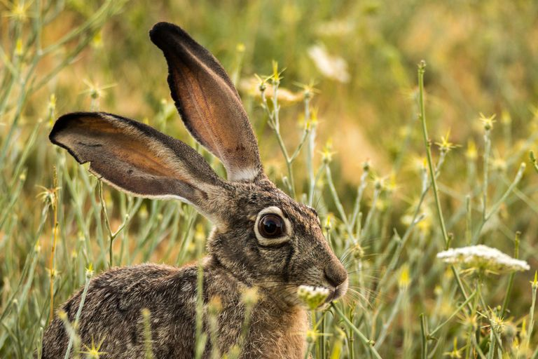 A black-tailed jackrabbit standing in a field