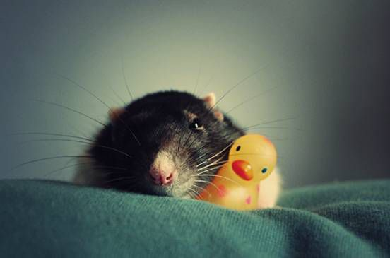 A rat sits on a towel with a small rubber ducky