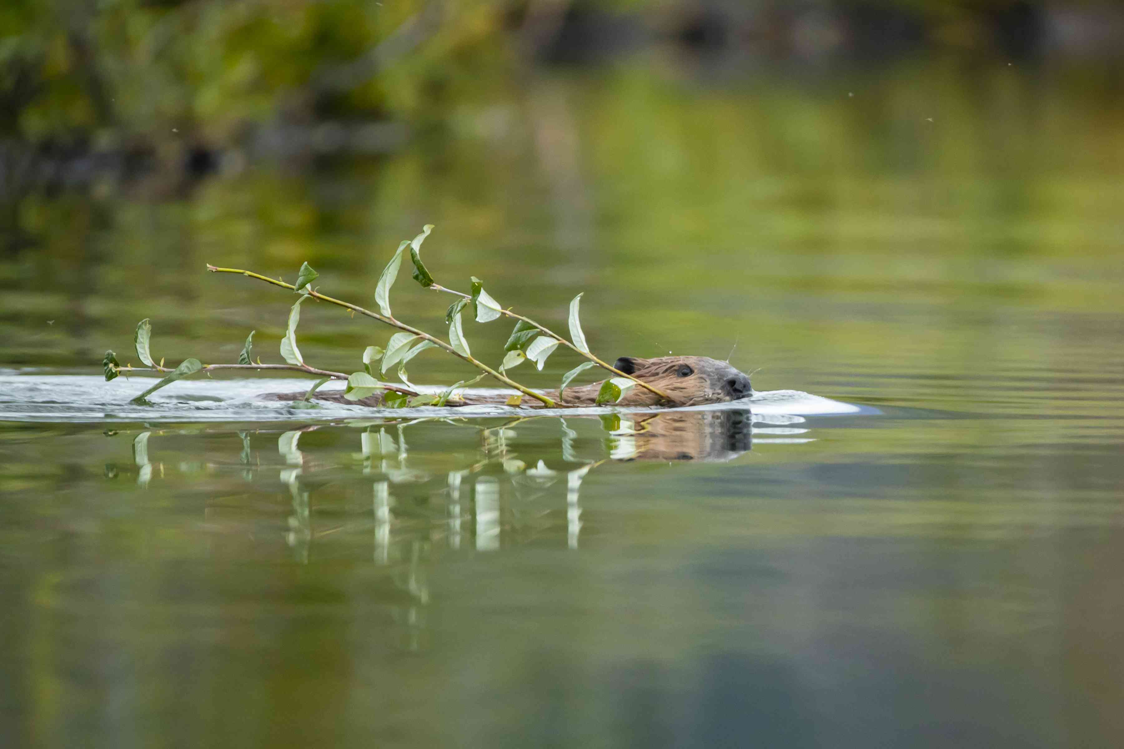 Beaver swimming in water carrying a small branch with leaves