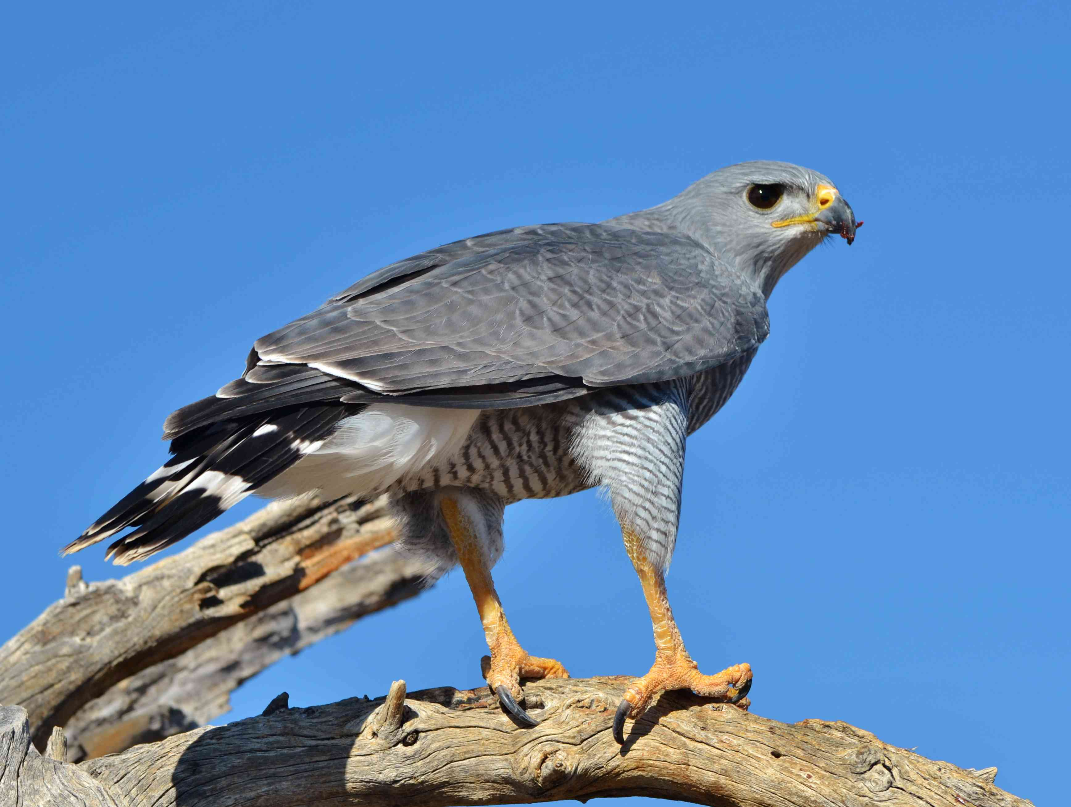 Grey Hawk (Buteo plagiatus)