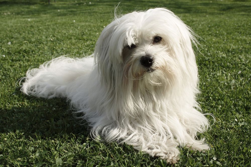 white Coton de Tulear dog lying on green grass