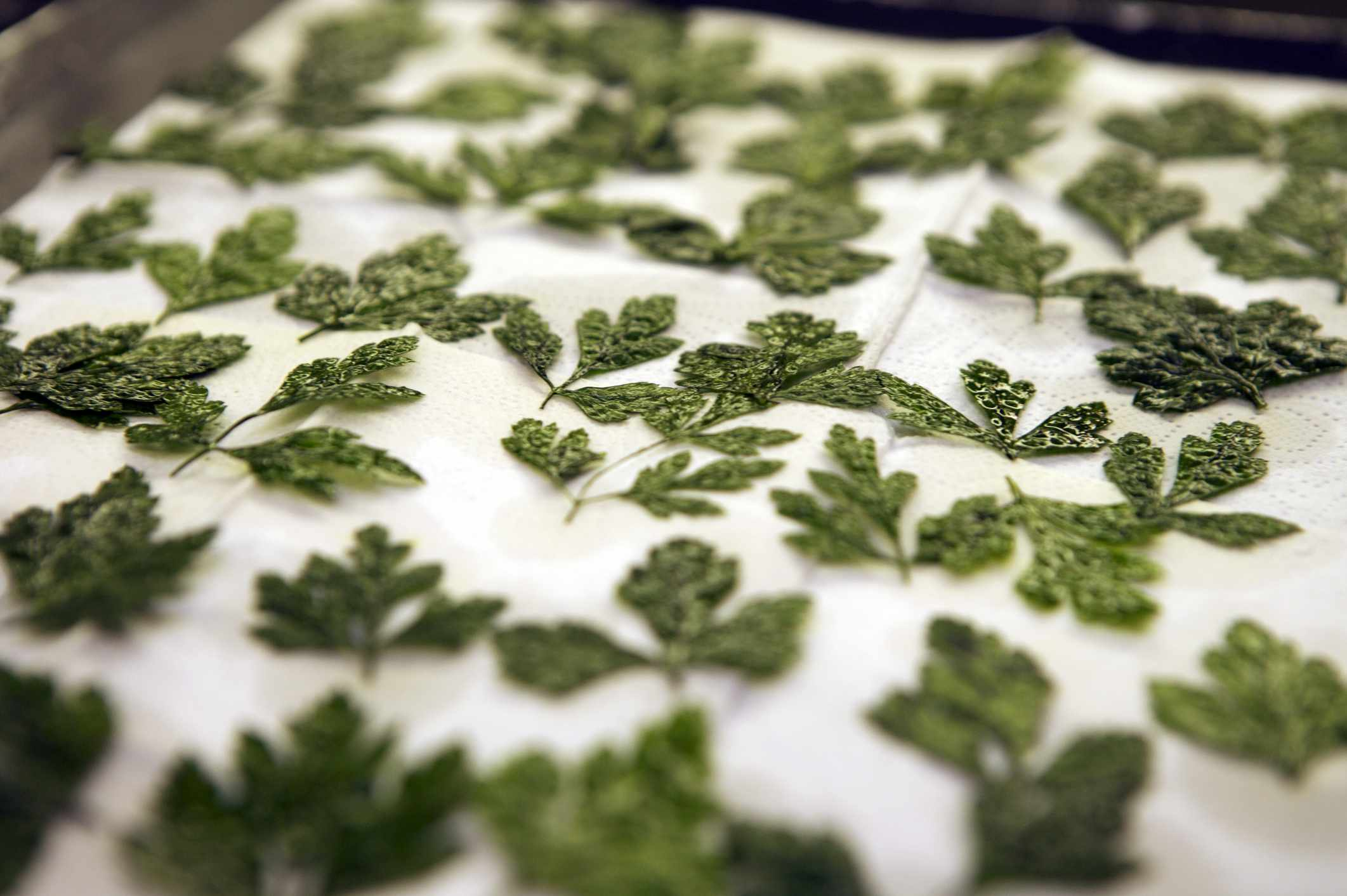 Parsley leaves being dried on an oven tray