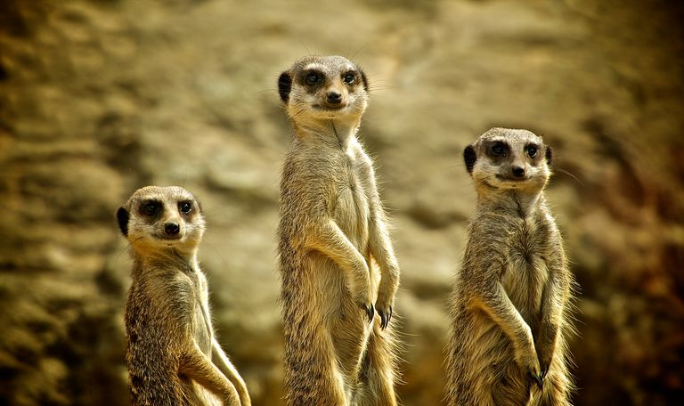 Three Meerkats standing