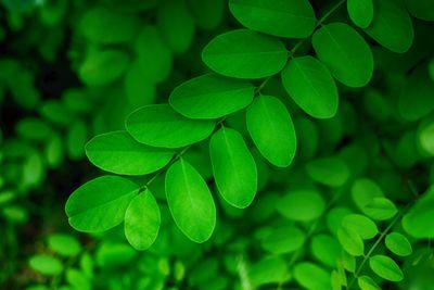 Detail shot of green Black Locust leaves.