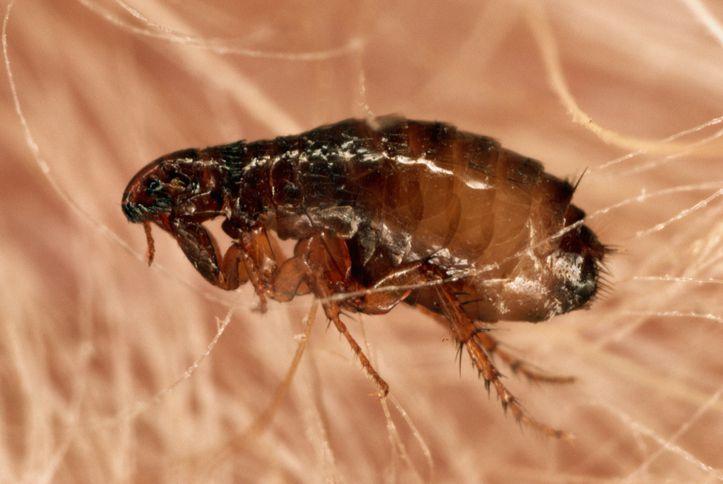 A close-up shot of a flea in fur.