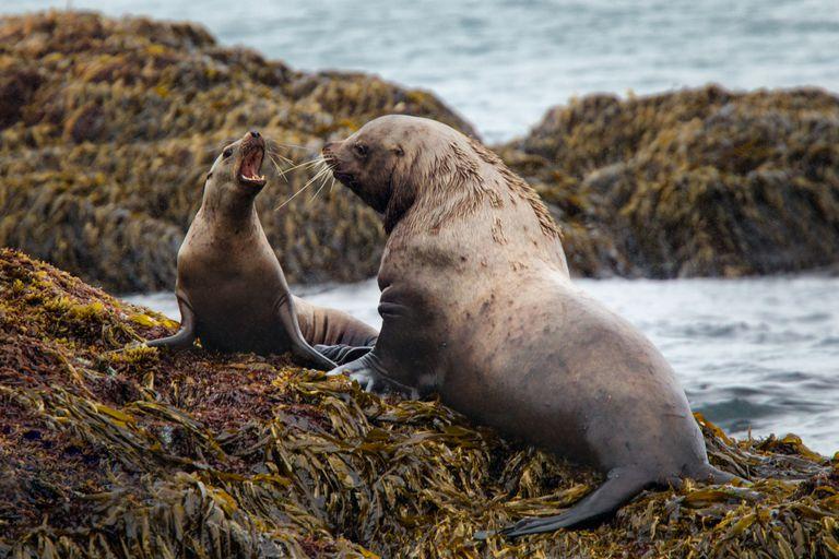 Two Stellar sea lions on kelp-covered rocks.